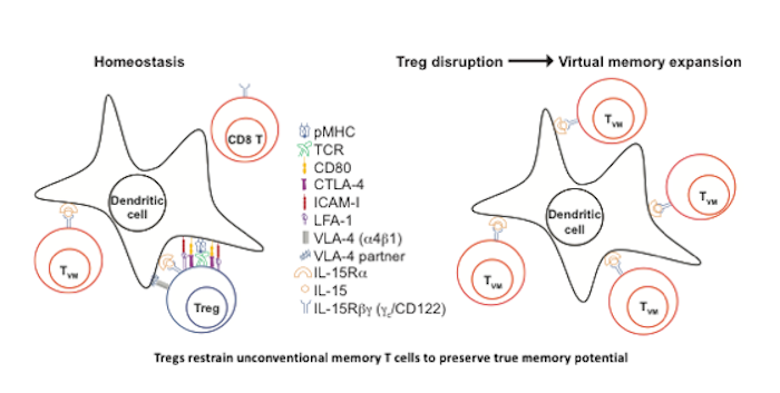 Graphical abstract of Treg-mediated regulation of the TVM pool.
