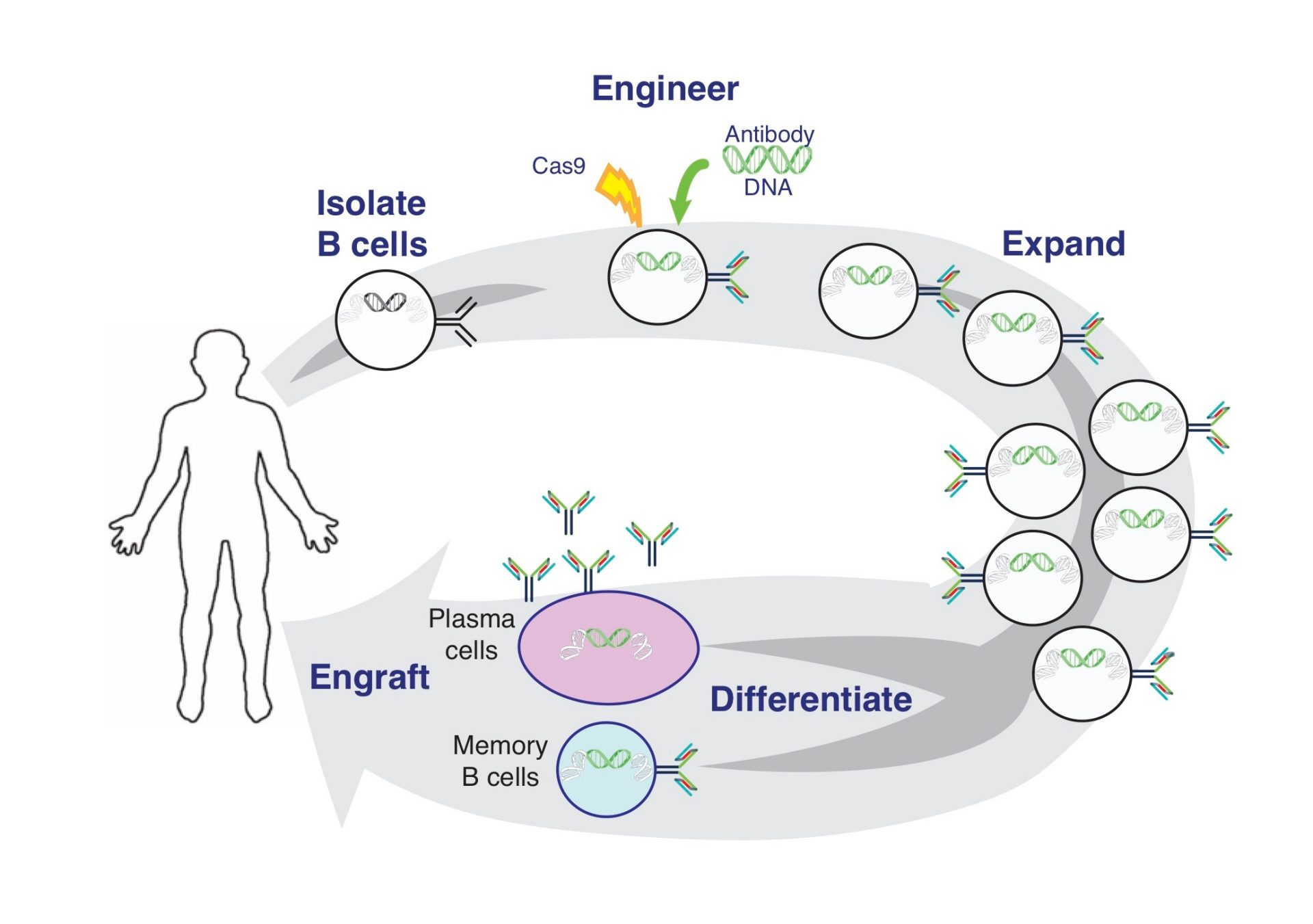 Overview of B cell editing and engraftment process.