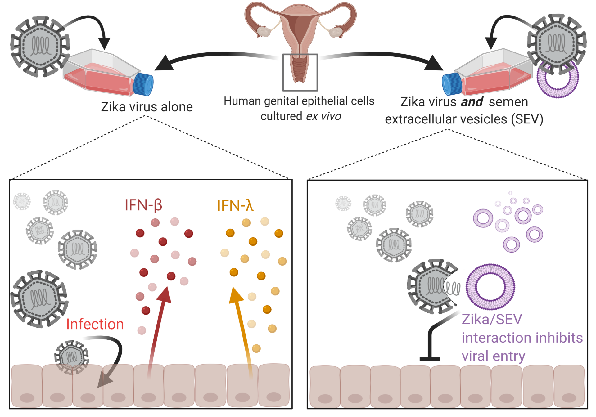 Seminal extracellular vesicles inhibit Zika virus cell entry when Zika virus and semen are cultured with ex vivo cultured human genital epithelial cells.