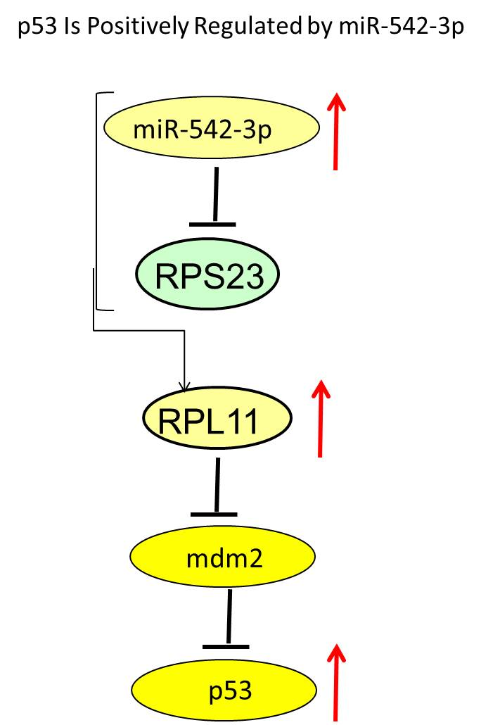 Pathway of p53 inhibition