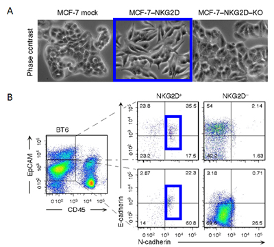 Microscope images of cancer cells and flow dot plots.