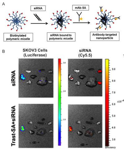 Model of nanoparticle modifications and ex vivo imaging of siRNA localization with and without nanoparticle mediated targeting